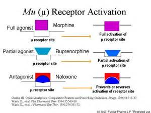 supplements for mu opioid receptor picture 13