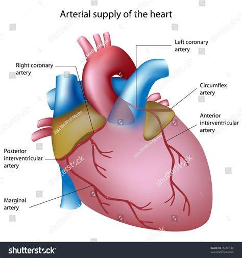 anatomy and physiology of blood circulation picture 12