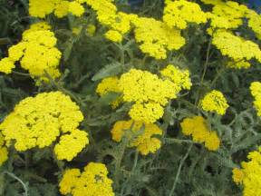 care of yarrow picture 13