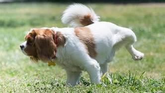 dog bladder infection symptoms picture 11