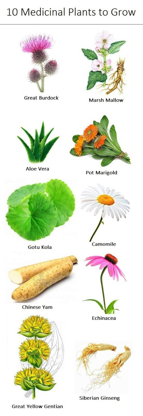 Which herbal plant is best for an picture 10