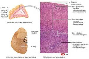 affects of aging on the adrenal cortex picture 2