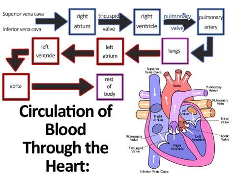 picture blood flow heart picture 7