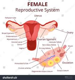 reproductive picture 9