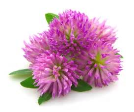 red clover extract picture 2