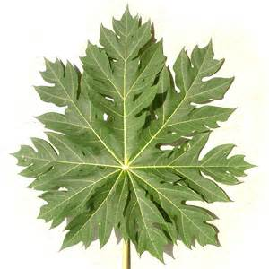Papaya Leaf picture 5