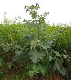 burdock tea for garden use picture 6