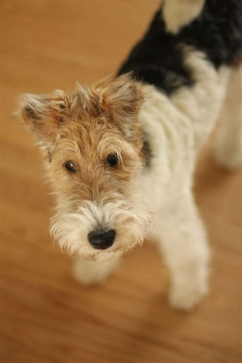 wire hair fox terrier picture 10