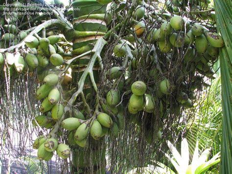 acai palm florida picture 10
