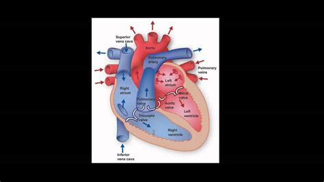 anatomy and physiology of blood circulation picture 11