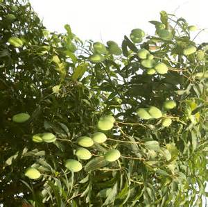 effect of irvingia gabonensis (bush mango)on parameters picture 3