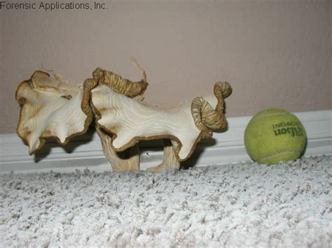 common indoor mushroom picture 1