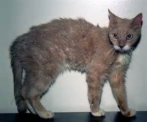 feline thyroid disease picture 6