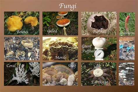 four types of fungi picture 7