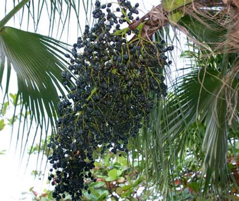 does acai berries really increases penile size picture 12