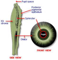 sphincter muscle picture 6