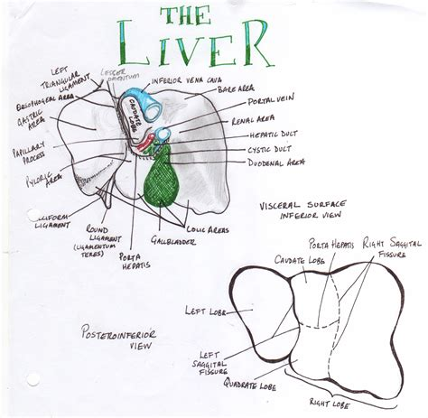 digestive liver center picture 6