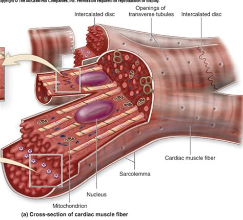 cardiac muscle cells are picture 9