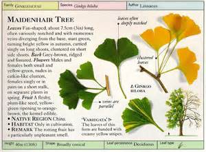 ginkgo biloba tree root system picture 3