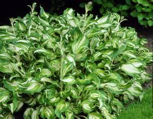 hosta plantain picture 9