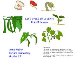 green beans for periods picture 7