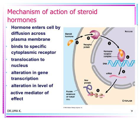 action of testosterone hormone picture 3