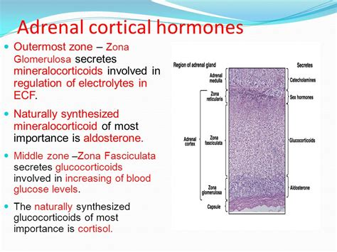 affects of aging on the adrenal cortex picture 10