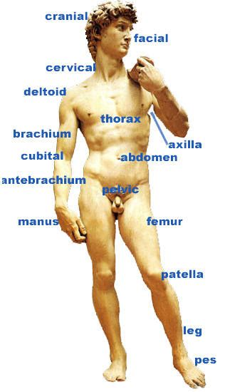 show and identify the various components of the male penis picture 12