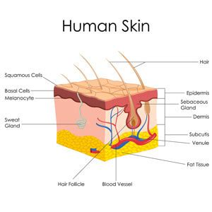 functions of skin picture 17