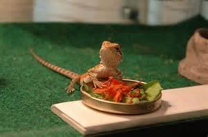 bearded lizard diet picture 3