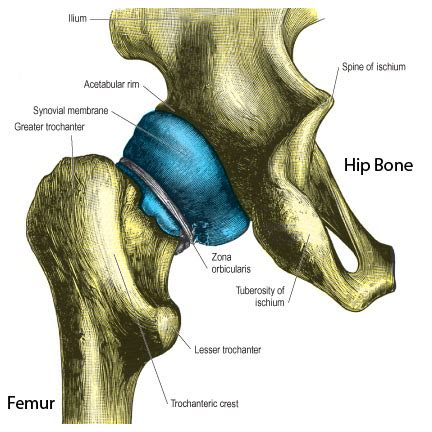 anatomy of hip joint picture 9