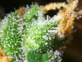 what herbs mimic the chemicals in cannabis picture 9