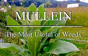 mullein medical use picture 3
