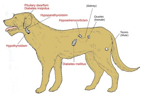 canine reactions to too much thyroid medicine picture 1