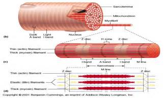 anatomy of skeletal muscle fiber picture 13
