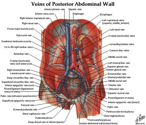 women + anatomy + liver picture 6