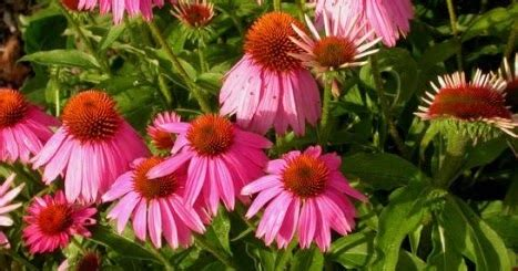 echinacea benefits for h picture 2