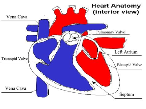 increase oxygenated blood flow to heart to grow picture 7