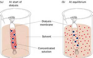 dialysis experiments with iodine and starch picture 2