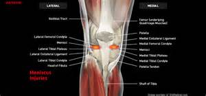meniscus muscle picture 5