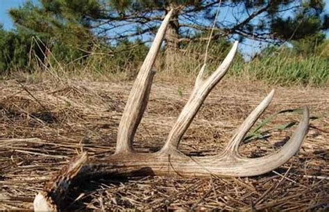 what age can you start taking deer antler picture 3
