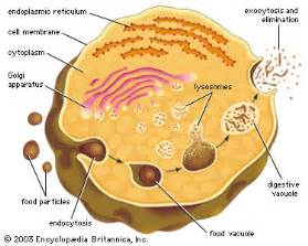 digestive vacuole picture 7