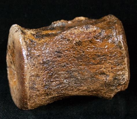 58 hadrosaurus teeth picture 9