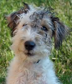 long haired foxterrier picture 6