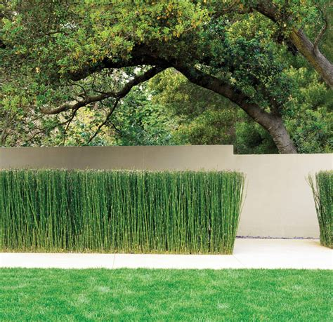 horsetail bush picture 3