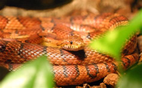 corn snake h picture 2