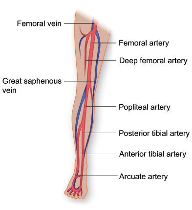 lower leg artery anatomy on web md picture 5