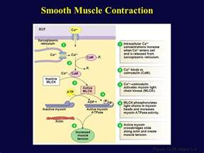 contraction in smooth muscle tissue picture 18
