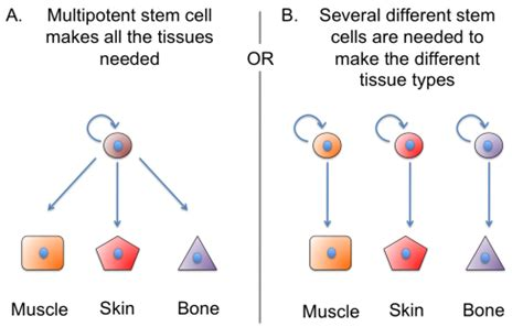 stem cells regrow h picture 19