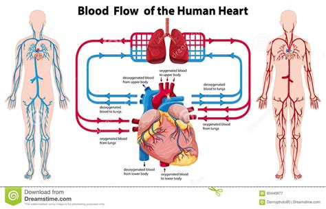 Blood flow to front of heart picture 6